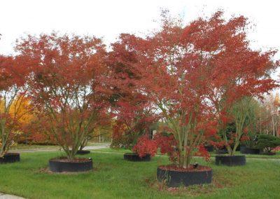 Acer palmatum 500-600