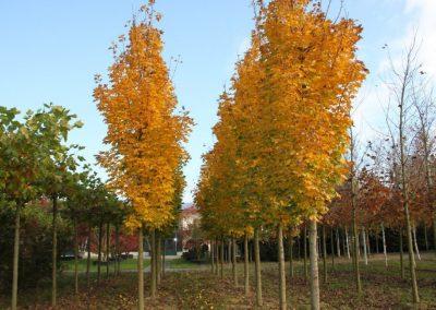 Acer plat. Columnare 40-45cm.