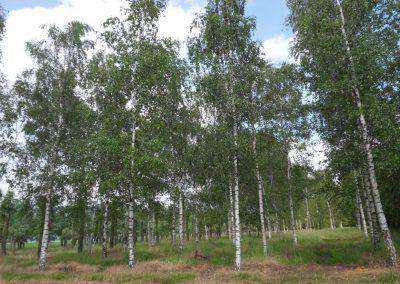 Betula pendula 50-60-70; 10-12m