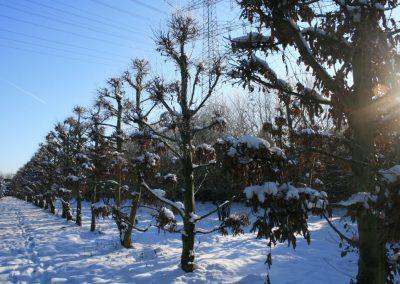 Carpinus betulus Bonsai 500-600cm