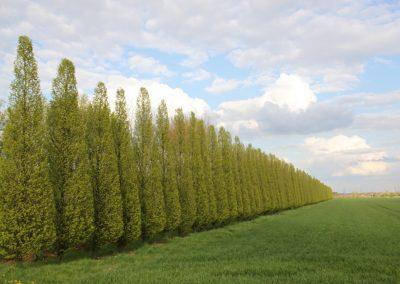 Carpinus betulus Fastigiata 700-800cm