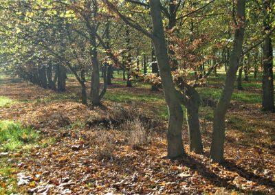 Carpinus-betulus, mehrstämmig. 10-12m