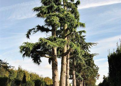 Cedrus deodara, Stu 140-160cm. Skulturenbaum