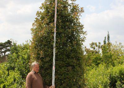 Photinia 350cm