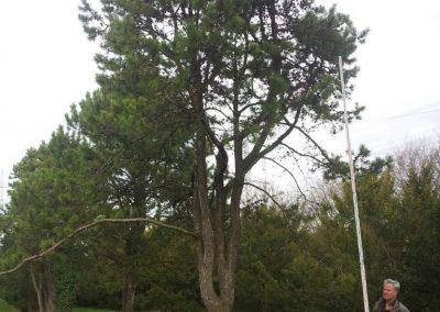 Pinus contorta 700-800cm
