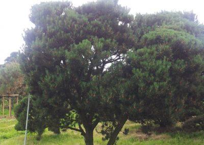 Pinus mughus 300-400x300-400cm