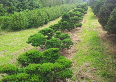 Pinus-mughus-XXL-Bonsai-200-400cm