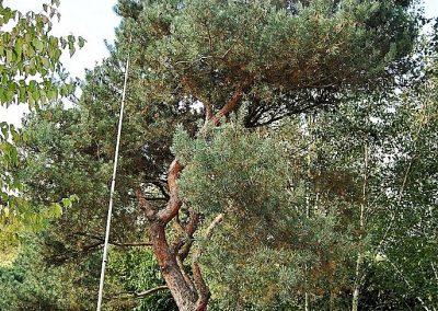 Pinus sylvestris, Skulpturenbaum 8-10,m