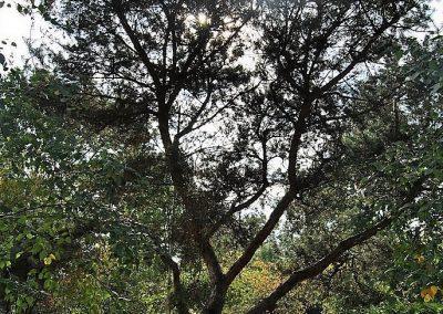 Pinus sylvestris, Skulpturenbaum 8-10,m.