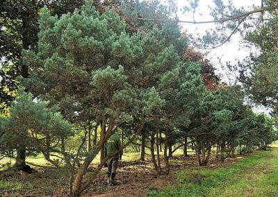 Pinus sylvestris typ Norske, ca. 4m