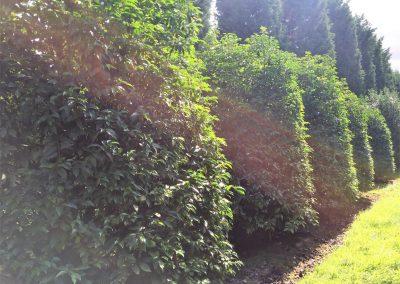 Prunus lusitanica (portugiesische Lorbeerkirsche)