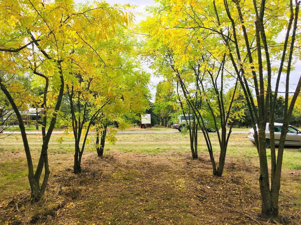Baumschule Schmitz grosse Bäumen kaufen in Kaarst Köln