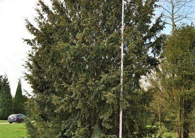 Taxus baccata 600-700cm