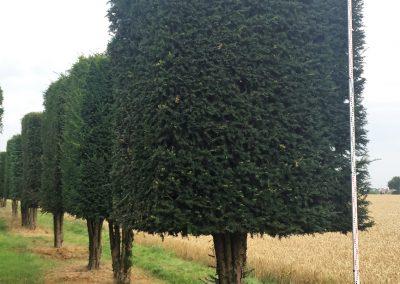 Taxus baccata H, Kastenform 450-500cm