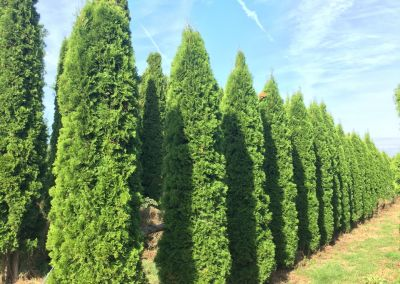 Thuja occidentalis - Smaragd Lebensbaum