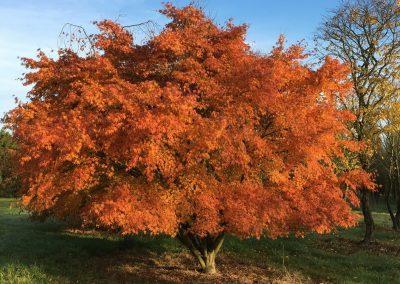 Acer palmatum - Fächerahorn - 500-600cm