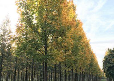 Acer platanoides Emerald Queen - Spitzahorn - Stu 40-45cm (2)