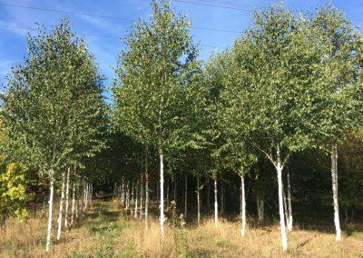 Betula utilis - Himalayabirke - Stu 20-25-30cm