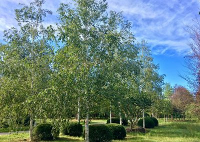 Betula utilis - Himalayabirke - Stu 45-50-60cm