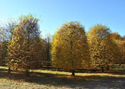 Carpinus betulus Bienenkorb - Hainbuche - 500-600-700cm -