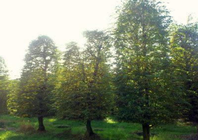 Carpinus betulus Bienenkorb - Hainbuche - 500-600-700cm (2)