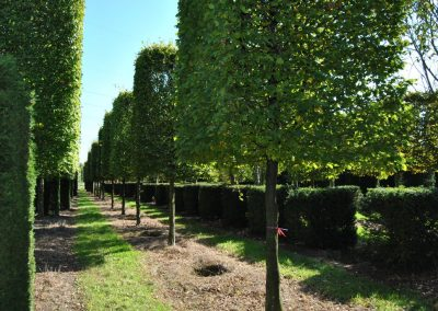 Carpinus betulus - Hainbuche - Kastenform, Stu 40-45-50cm (1)