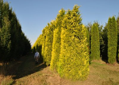 Chamaecyparis laws. Golden Wonder - gelbe Scheinzypresse - 500-800cm (1)