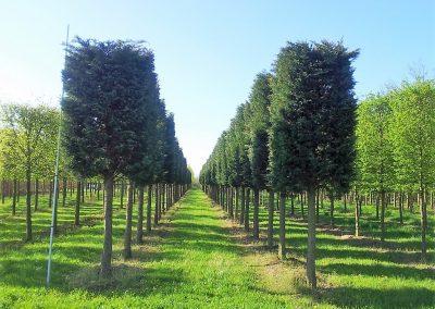 Cupressocyparis leylandii - Bastardzypresse - Hochstamm Kasten 5-6m (1)