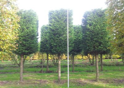 Cupressocyparis leylandii - Bastardzypresse - Hochstamm Kasten 5-6m (2)