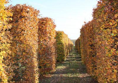 Fagus sylvatica - Rotbuche - Heckenelemente, 400-500-600cm (1)