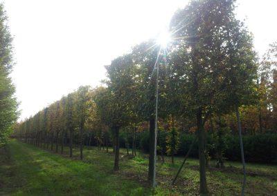 Fagus sylvatica - Rotbuche - Spalier, Stu 50-60-70cm