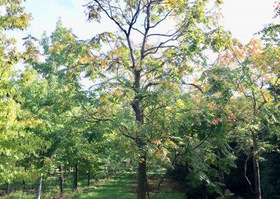 Koelreuteria paniculata - Blasenstrauch - Stu 40-45cm (1)