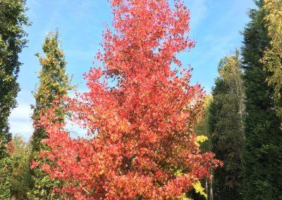 Liquidambar styraciflua - Amberbaum - 8-10m