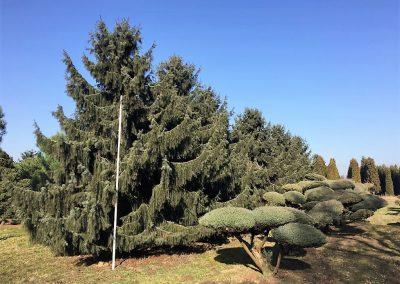 Picea breweriana - Mähnenfichte - 700-800cm (2)
