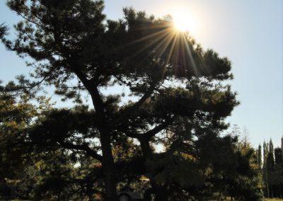 Pinus mugo - Latschenkiefer - Skulpturenbaum-
