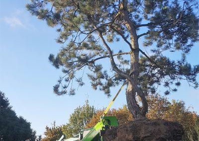 Pinus nigra - Schwarzkiefer - Skulpturenbaum, 700-800cm