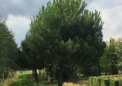 Pinus pinea - Pinie - Stu 60-70cm -