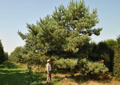 Pinus sylvestris - Föhre - Stu 60-70cm, 600-700cm