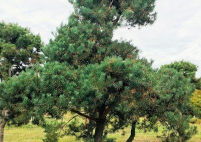 Pinus sylvestris - Föhre - malerisch gewachsen, ca. 5m hoch -.
