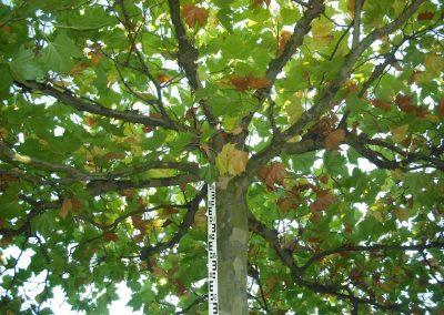 Platanus acerifolia Dachform - Platane - Stu 40-50-60cm (2)