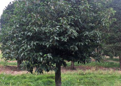 Prunus lusitanica - portugiesische Lorbeerkirsche - Hochstamm, 350-400cm