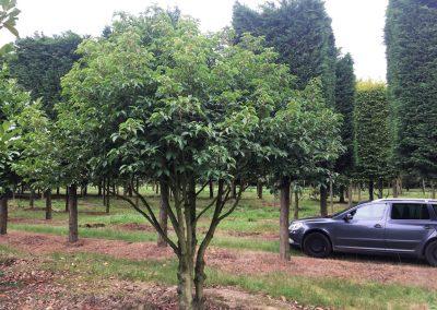 Prunus lusitanica - portugiesische Lorbeerkirsche - mehrstämmig, 350-400cm (2)