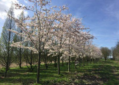 Prunus yedoensis - Tokyokirsche - Stu 40-50-60cm,