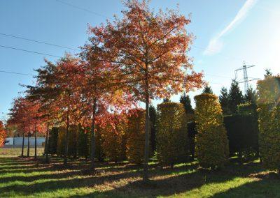 Quercus palustris - Sumpfeiche - Dachform, 7-8m -