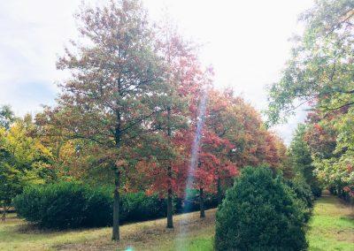 Quercus palustris - Sumpfeiche - Stu 70-80cm und Buxus rotundifolia.