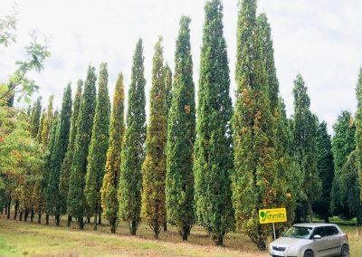 Quercus robur Fastigiata - Säuleneiche - ca. 12m hoch
