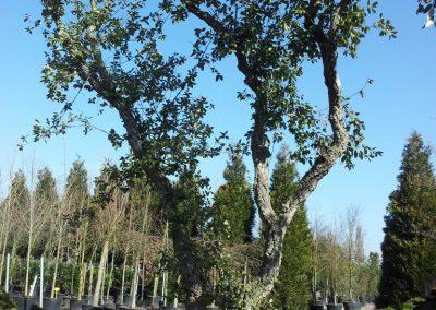 Quercus suber - Korkeiche - mehrstämmig, ca. 6m hoch -.