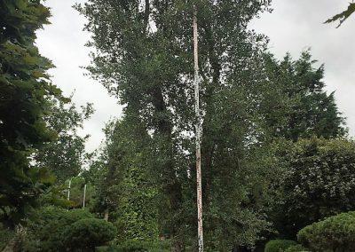 Quercus suber - Korkeiche - mehrstämmig, ca. 6m hoch (2)