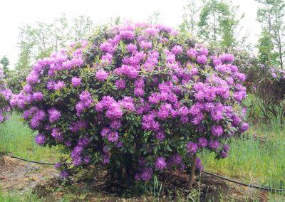 Rhododdendron catawb. Boursault - Rhododendron - 250-300cm-