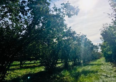 Viburnum pragense -Prager Schneeball, 3-4m hoch (1)